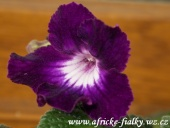 streptocarpus Night Beacon